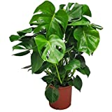 "Monstera Delicioso - Swiss Cheese Plant - 3 Gallon Pot - Overall Height 22"" to 24"" - Tropical Plants of Florida"