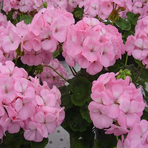 Amazon outsidepride geranium appleblossom 25 seeds garden amazon outsidepride geranium appleblossom 25 seeds garden outdoor mightylinksfo