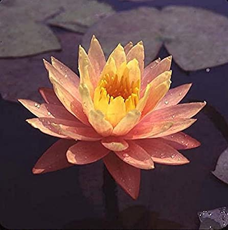 Live Aquatic Plant Nymphaea Peaches /& Cream with Peach//Orange Color HARDY Water Lily TUBER for Aquarium Freshwater Fish Pond BUY 2 GET 1 FREE by JustNature