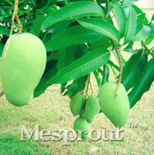 New Rare Mango 2+ Seed - 3