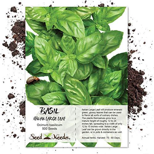 Seed Needs, Italian Large Leaf Basil Herb (Ocimum basilicum) 500 Seeds Non-GMO