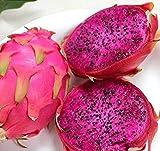 FD852 Red Dragon Fruit Seeds Hylocereus Pitaya Seeds Fruits Undatus Seed ~10PCs~