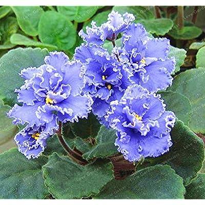 MAPPLEGREEN 100 PCS Saintpaulia Ionantha Bonsai Beautiful Plant Bonsai Flower Bonsai African Violet Bonsai DIY Home Garden Plants 11: Garden & Outdoor