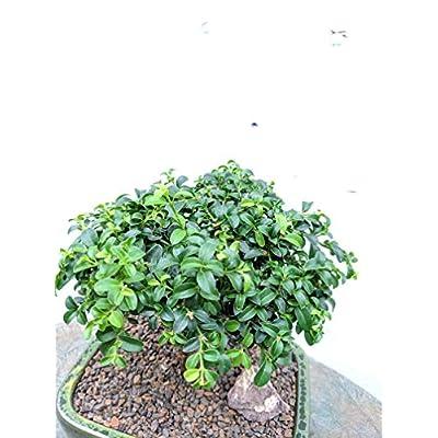 9 Year Old Japanese Kingsville Boxwood Bonsai Tree: Garden & Outdoor