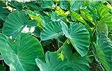 Heirloom Alocasia Macrorrhiza Green Giant Taro