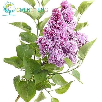 Amazon.com: 100 granos perenne lila árbol plantas macetas de ...