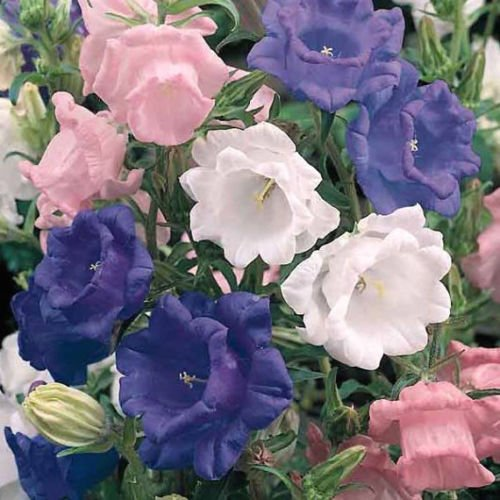 New Campanula Canterbury Bells Mix Double Flower 50+ Seeds