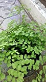 "Pacific Maid Maidenhair Fern Live Plant Fit 4"" Pot Easy to Grow"