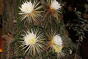 Selenicereus grandiflorus EPIPHYTIC CACTI - Large Blooms - Seeds!