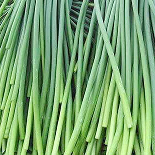 100pcs Chinese Young Garlic Shoot Garden Potted Leek Plants Easy to Grow Vegetables Four Seasons Planting