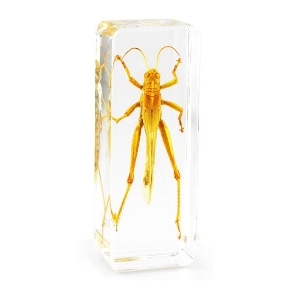 QTMY Biology Science World Collection of Real Insect Specimen Paperweight (Locust)