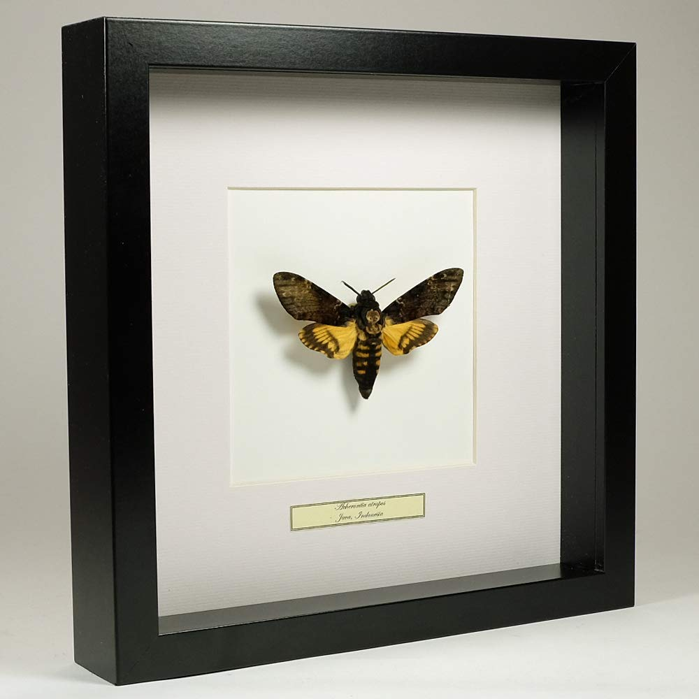 De Museumwinkel.com Acherontia atropos – The Death's-head Hawkmoth - Real Taxidermy Butterfly Mounted Under Glass in Handmade Black Wooden Frame