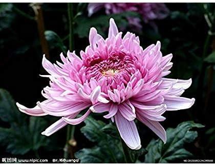 SwansGreen Ciruela: Semillas 100Pc crisantemo del arco iris de flores, Bonsai ornamental, color raro, New elegir más semillas de plantas del jardín de flores de crisantemo: Amazon.es: Jardín