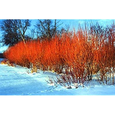 One (1) Flame Willow Tree - Vibrant Red and Orange Bark - Medium Sized Decidous Tree - Grows Very Fast : Garden & Outdoor