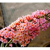 Peach Cobbler Flutterby Grand Butterfly Bush - Live Plant - Quart Pot