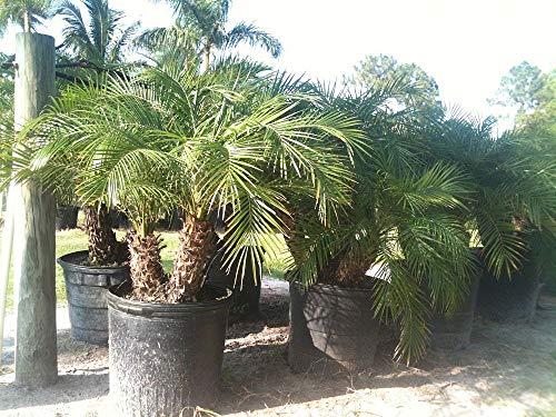 (Phoenix roebelenii, Pygmy Date Palm, Roebelenii Palm - 3 Gallon Live Plant )