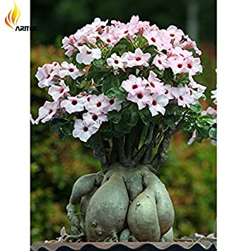 Amazon 2018 Hot Sale Heirloom Pink Desert Rose Adenium With