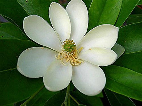 - 1 Plant Sweetbay Magnolia Tree Hardy Established Roots in 1 Gallon Pot V2