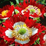 Poppy Danish Flag (Papaver Somniferum) Vivid Red, White and Yellow Beauty. This Frilly Lady Has an Appealling Imapact.. Excellent in Groupings and Easy to Grow! Approx 100 Seeds