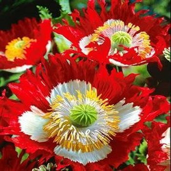 Outsidepride Poppy Danish Flag - 5000 Seeds (Poppies)