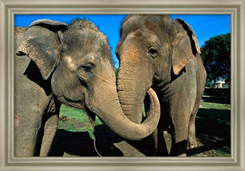 Framed Canvas Wall Art Print | Home Wall Decor Canvas Art | Asian Elephant Pair with Entwined Trunks, Native to India, Asia, Thailand and Laos by San Diego Zoo | Modern Decor | Stretched Canvas Print