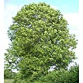 5000 Common Ash Tree Seeds, Fraxinus Excelsior