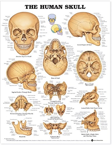 The Human Skull Anatomical Chart by Anatomical Chart Company