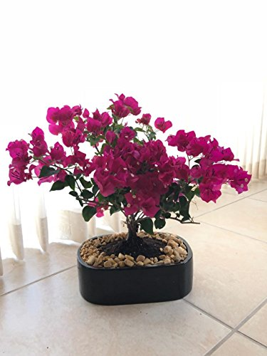 indoorbonsaiandexotics monster bougainvillea bonsai tree indoors beginner Bougainvillea Bonsai