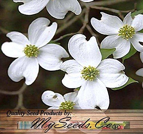 5 White Flowering Dogwood Flowering Dogwood Tree Seeds