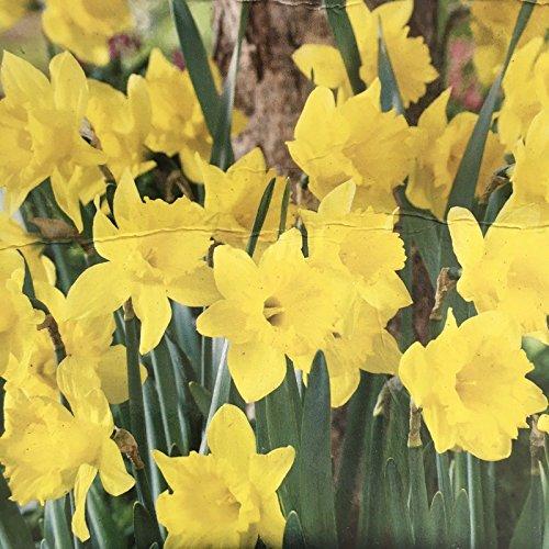 20 King Alfred- Daffodil Bulbs ()