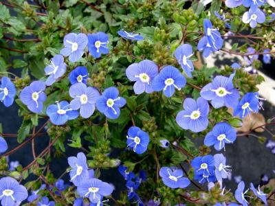 Classy Groundcovers - Veronica 'Georgia Blue' 'Oxford Blue', Cambridge Blue', Speedwell 'Georgia Blue' {25 Pots - 3 1/2 in.} by Classy Groundcovers (Image #8)