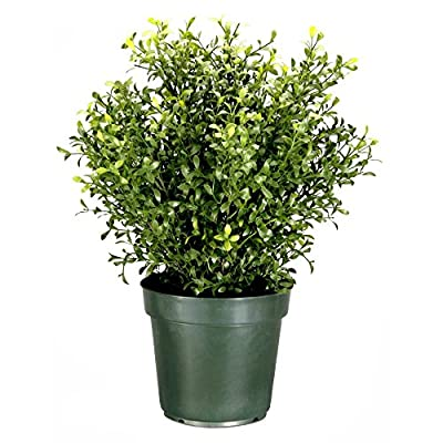 Argentia Plant with Green Pot