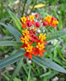 organic Scarlet Milkweed Asclepias curassavica Monarch Butterfly 5 seeds by HG