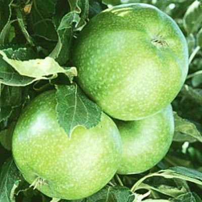 Granny Smith Apple tree 10 seeds (Apple Trees Green)