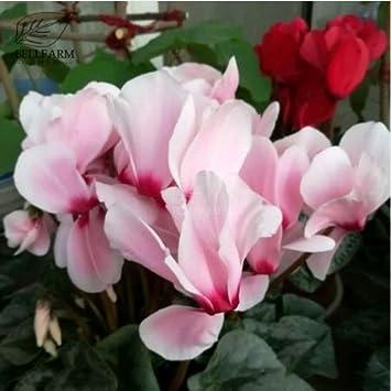 Amazon new pink light pink purple bi color big blooms new pink light pink purple bi color big blooms perennial flowers seeds 5 mightylinksfo