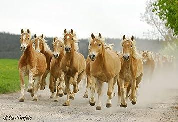 Herde  Mousepad Galoppierende Pferde, Haflinger, Herde: Amazon.de ...
