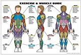 Exercise & Muscle Guide-Male 24''x36''