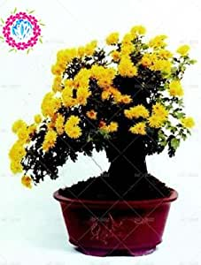100pcs / bag cubre suelos semillas crisantemo, crisantemo bonsai semillas de flores perenne margarita planta para el jardín de 2 macetas