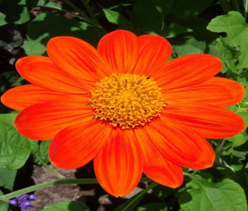 (SUNFLOWER MEXICAN TORCH Tithonia Rotundifolia - 200 Bulk Seeds)