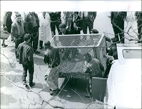 Vintage photo of Men carrying cage to be used in a circus, with people looking at them, -