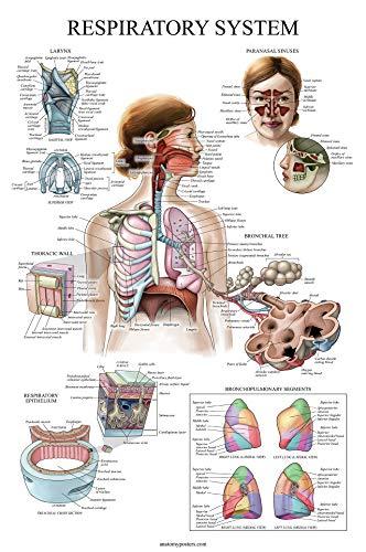 Laminated Respiratory System Anatomical Chart - Lung Anatomy Poster - 18 x 27