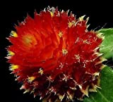 gomphrena globosa red flower Plants 5 Seeds~Globe Amaranth or Bachelor Button