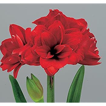 Amazon Com Double Dragon Amaryllis Bulb Double