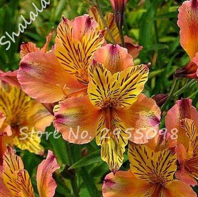 (100 pcs/bag Alstroemeria Seeds Peruvian Lily Flower Seeds DIY Home Garden Bonsai Potted Plant Easy Growing 6)