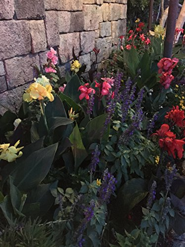 CANNAS- Assorted Dwarf Variety Pack of 25 Large 4-6 Eye Bulbs
