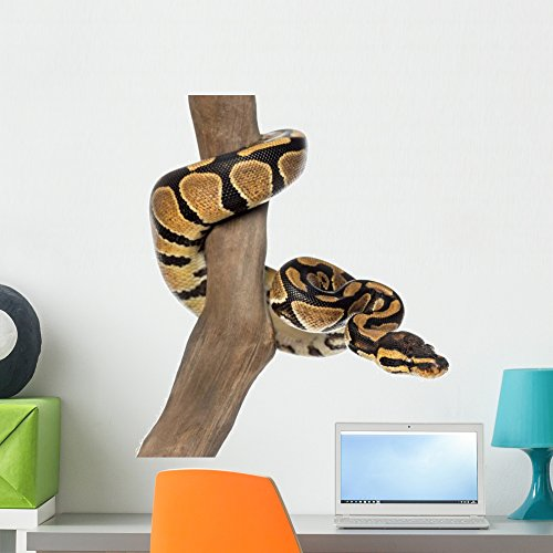 Wallmonkeys Royal Python on a Branch Wall Decal Peel and Stick Graphic WM70005 (24 in W x 17 in - Decals Snake Wall