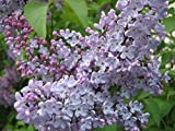 Chinis 50 Seeds FRENCH LILAC Syringa Vulgaris Flower Shrub Bush Seeds, Impressive