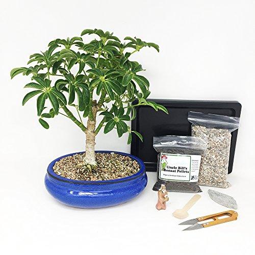 Hawaiian Umbrella Bonsai Tree Beginner Kit Includes Potted Tree, Japanese Humidity Tray, River Rocks, Organic Bonsai Food, Mini Clippers, Rock, Fertilizer Spoon, Mudman Figurine