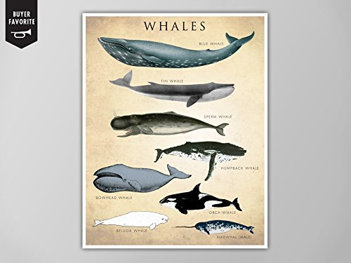 Whale Chart Art Print, Whale Species Natural History Poster, Natural History Scientific Print, Whale