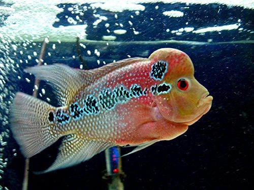 Pearl Flowerhorn Cichlid 3